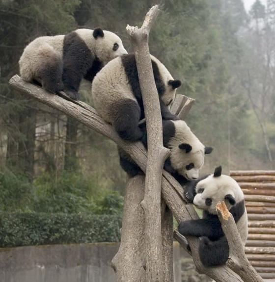 PANDA Pandite-retki-zivotni-koi-treba-da-se-socuvaat-10