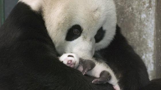 PANDA Pandite-retki-zivotni-koi-treba-da-se-socuvaat-9