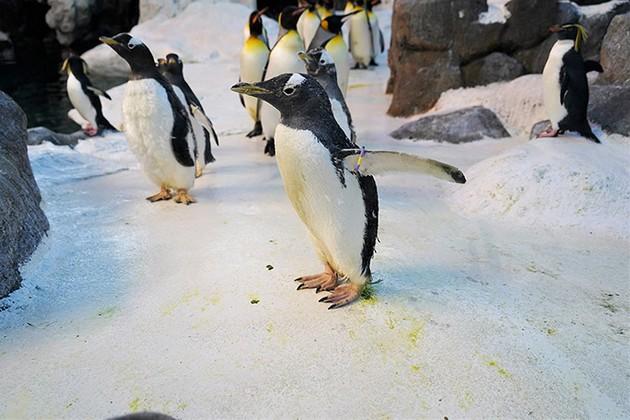 zapoznajte-ja-olde-najstariot-pingvin-vo-svetot-koj-ima-duri-41-godina-02.jpg