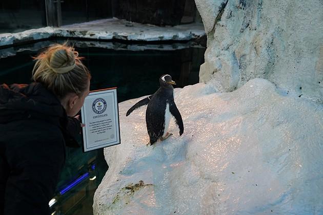 zapoznajte-ja-olde-najstariot-pingvin-vo-svetot-koj-ima-duri-41-godina-03.jpg